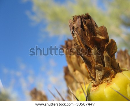 A close up of the fruit of a Sonora Barrel Cactus. - stock photo