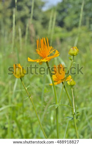 A close up of the globe-flower (Trollius chinensis).