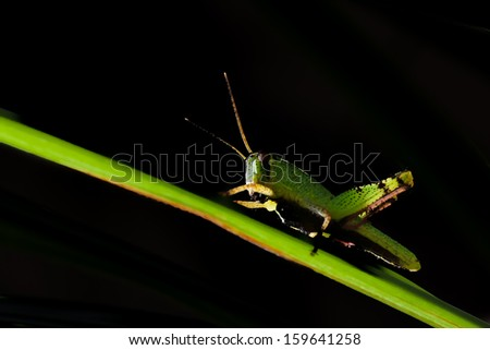 A close up of the grasshopper on blade of grass. Isolated on black.