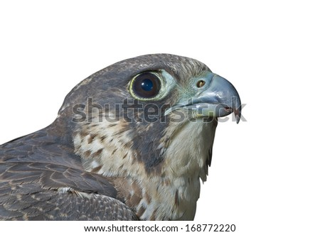 A close up of the head of falcon (Peregrine Falcon). Isolated on white. - stock photo