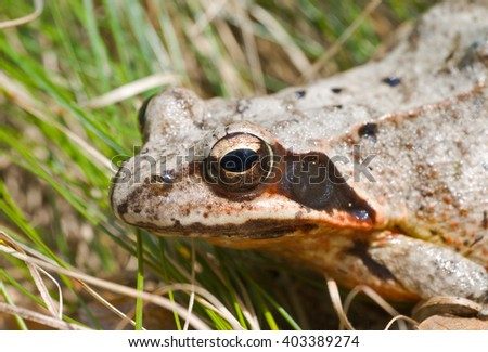 A close up of the head of frog among a grass. - stock photo