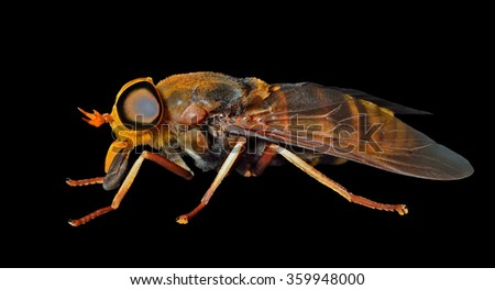 A close up of the horsefly (Tabanid). Isolated on black. - stock photo