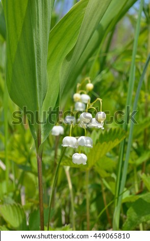 A close up of the lily-of-the-valley (Convallaria keiskei). - stock photo