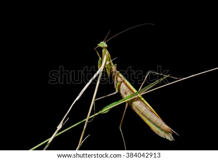A close up of the mantis on grass. Isolated on black.