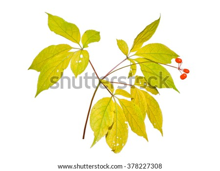 A close up of the most famous medicinal plant ginseng (Panax ginseng). Autumn. Isolated on white. - stock photo