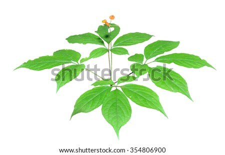 A close up of the most famous medicinal plant ginseng (Panax ginseng). Isolated on white.