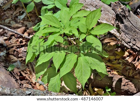 A close up of the most famous medicinal plant ginseng (Panax ginseng) with buds.