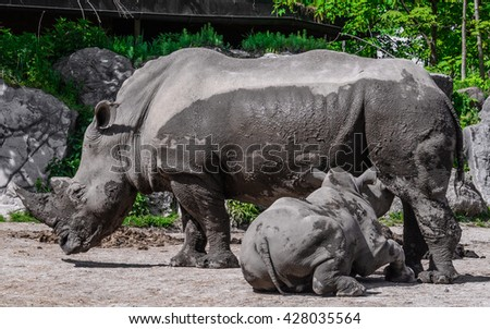 A close up of the mother rhino (ceratotherium simum) feeds calf in the park, Austria - stock photo