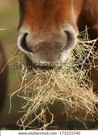 A close up of the mouth of a horse as it eats hay. - stock photo
