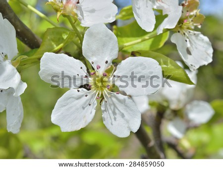A close up of the pear flowers in orchard. - stock photo