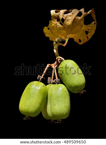 A close up of the ripe berries on Far-East (Actinidia kolomikta). Isolated on black.
