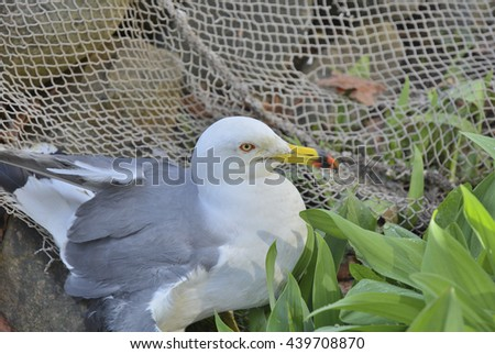 A close up of the seagull (Larus crassirostris). - stock photo
