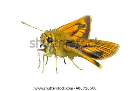 A close up of the small butterfly (Augeades). Isolated on white.