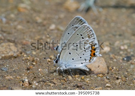 A close up of the small butterfly (Everes argiades). - stock photo