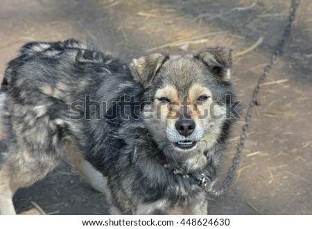 A close up of the small grey dog. - stock photo