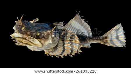 A close up of the small pigfish. Isolated on black. - stock photo