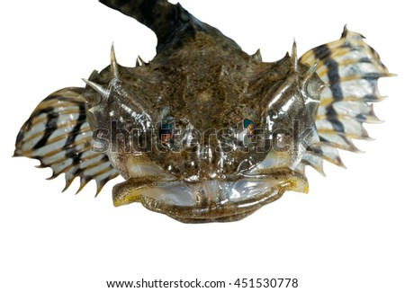 A close up of the small pigfish. Isolated on white. - stock photo