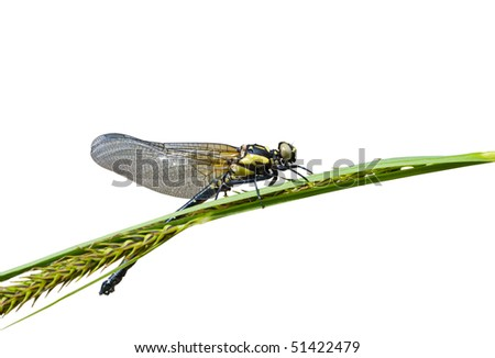 A close up of the small yellow dragonfly on grass. Isolated on white. - stock photo