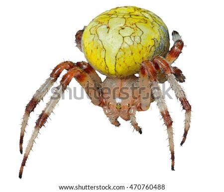 A close up of the spider (doe). Isolated on white.