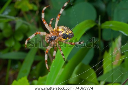 A close up of the spider spins spider web. - stock photo