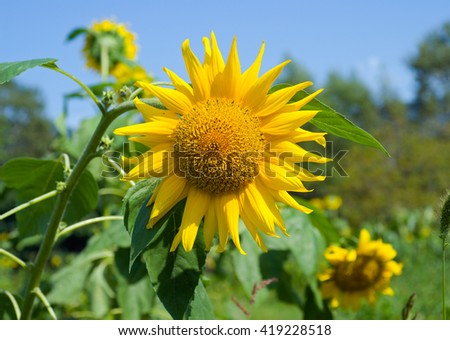 A close up of the sunflower. Sunny day. - stock photo