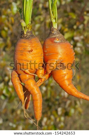 A close up of the unusual carrots, similar to humans.