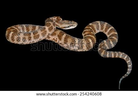 A close up of the venomous snake (Agkistrodon saxatilis). Isolated on black. - stock photo