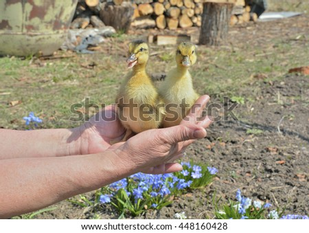 A close up of the very small ducklings on hands. - stock photo