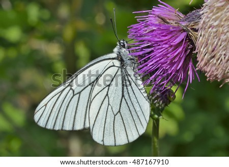 A close up of the white butterfly (black-weined white) (Aporia crataegi) on flower.