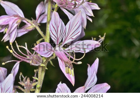 A close up of the wildflower fraxinella (Dictamnus dasycarpus). - stock photo