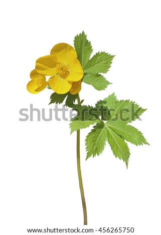 A close up of the wildflower (Hylomecon vernalis). Isolated on white. - stock photo