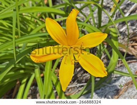 A close up of the wildflower lily (Hemerocallis middendorfii) on rocks. - stock photo