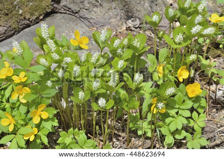 A close up of the yellow and white spring flowers (Hloranthus japonicus), (Hylomecon vernalis). - stock photo