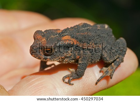 A close up of the young toad (Bufo gargarizans) on hand. - stock photo