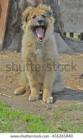 A close up of the young yellow yawning dog. - stock photo