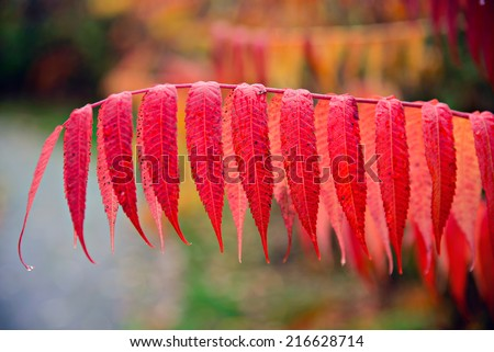 A close up of vibrant red leaves on a branch of a sumac plant during the autumn season.  - stock photo