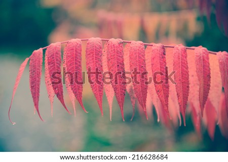 A close up of vibrant red leaves on a branch of a sumac plant during the autumn season.  Filtered for a retro vintage look.  - stock photo