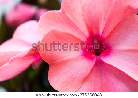 A close up on a bright pink flowering impatiens plant, known for tolerating shade.  This sun impatient tolerates more sun - stock photo