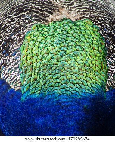 a close up on the back of the feathers on the back of a male peacock, blues, greens, and black and white.
