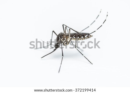 A close-up or macro of a Mosquito on a white background - stock photo