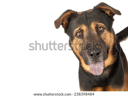 A close-up photo of a cute young Shepherd cross dog isolated on white with copyspace  - stock photo