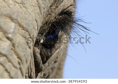 A close up photo of a elephants eye, eyelashes, wrinkles and face. Taken in South Africa.