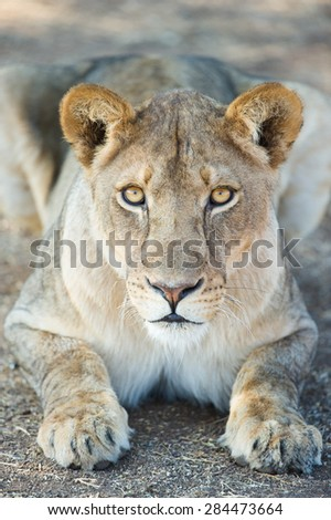 A close up photo of a lioness staring up into the camera from a crouched position.