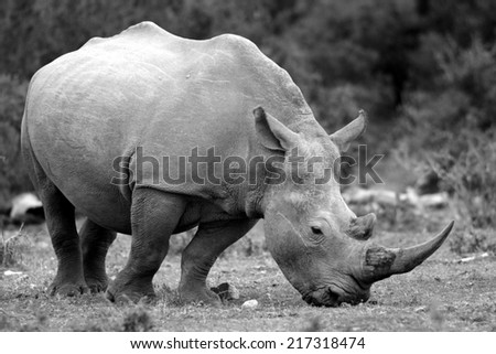 A close up photo of an endangered white rhino.