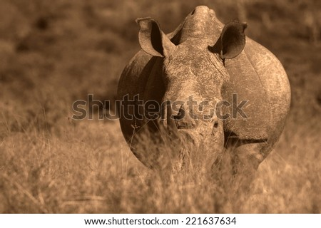A close up photo of an endangered white rhino's face,horn and eye. - stock photo