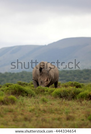A close up photo of an endangered white rhino. South Africa - stock photo