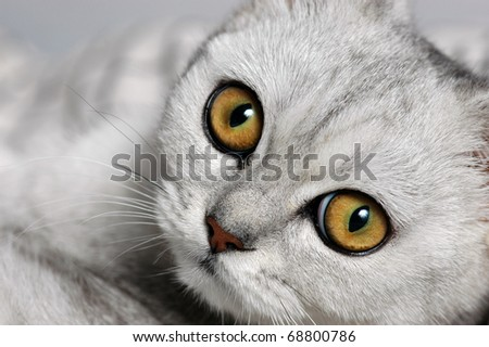 A close-up photo of british short-hair cat with big curious eyes