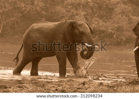 A close up portrait of a African elephant splashing,playing and drinking at a waterhole. Taken on safari in Addo elephant national park,eastern cape,south africa