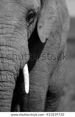 A close up portrait of a African elephants face, trunk and tusks. South Africa
