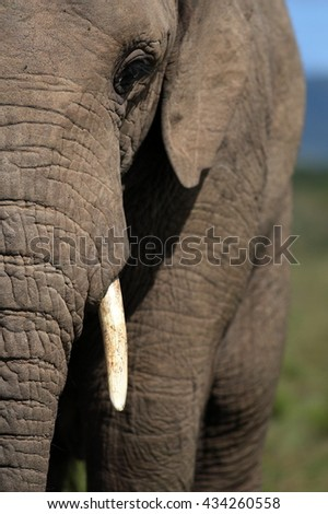 A close up portrait of a African elephants face, trunk and tusks. South Africa - stock photo